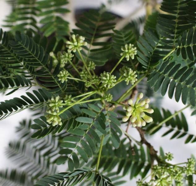 【現物256】ネムノキ (ねむの木)
