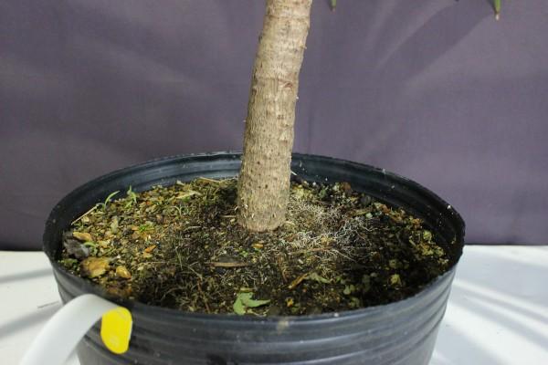 【現物260】ドラセナ緑葉 オーストラリス