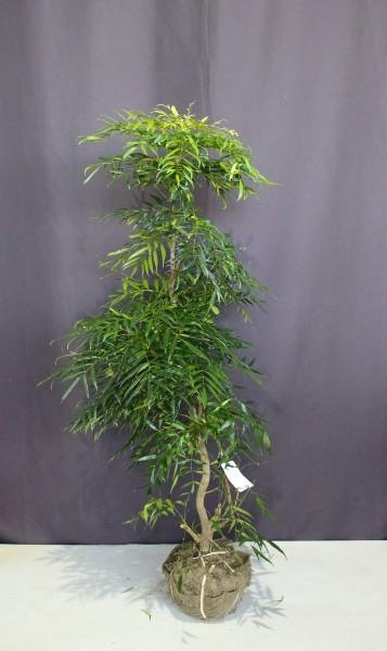 コンフーサ コウウン 黄雲  人気 植木 庭木 植木組合 マホニアコンjフーサ