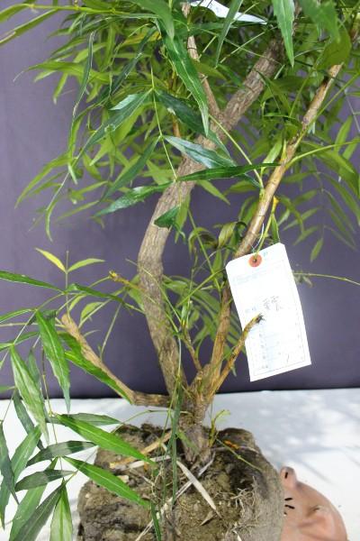 コンフーサ コウウン 黄雲  人気 植木 庭木 植木組合 マホニアコンフーサ