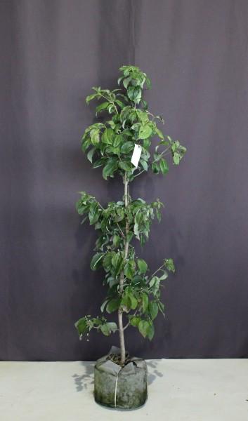 【現物278】ハナミズキ 白花 花水木 高さ1.7m