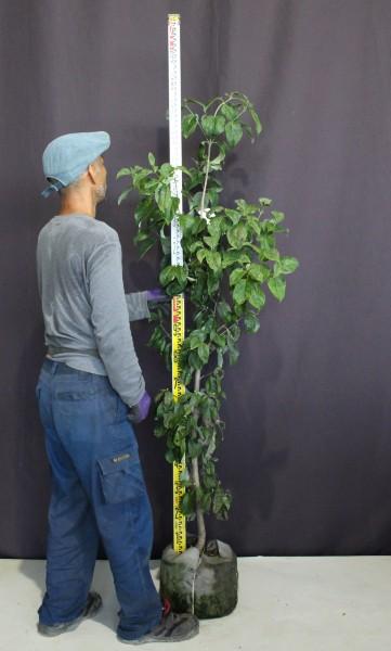 【現物279】ハナミズキ 白花 花水木 高さ1.5m