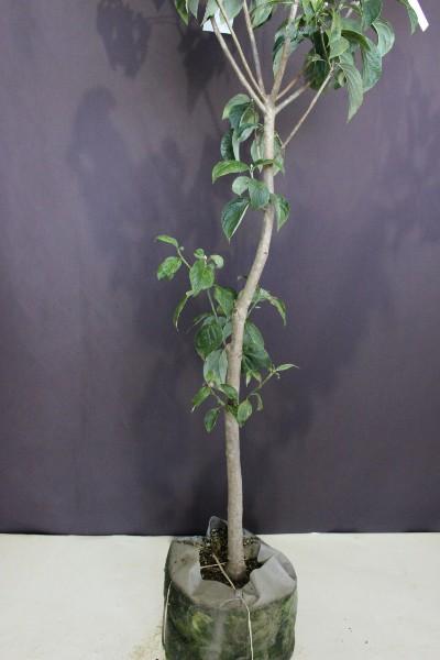 【現物280】ハナミズキ 白花 花水木 高さ1.7m