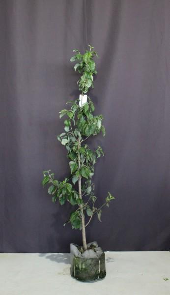 【現物281】ハナミズキ 白花 花水木 高さ1.7m