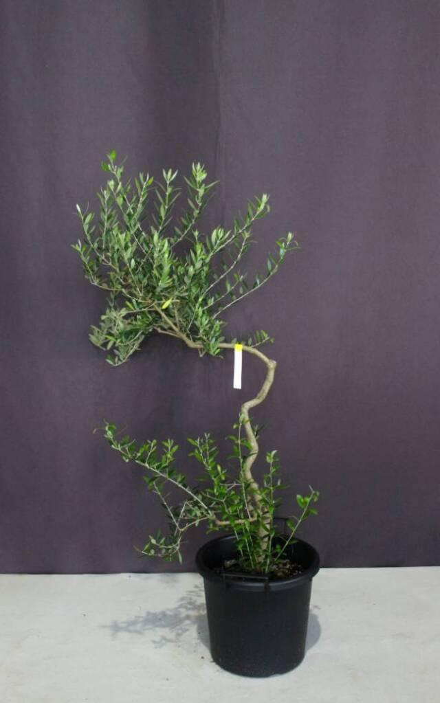 オリーブ シンボルツリー 人気 植木組合