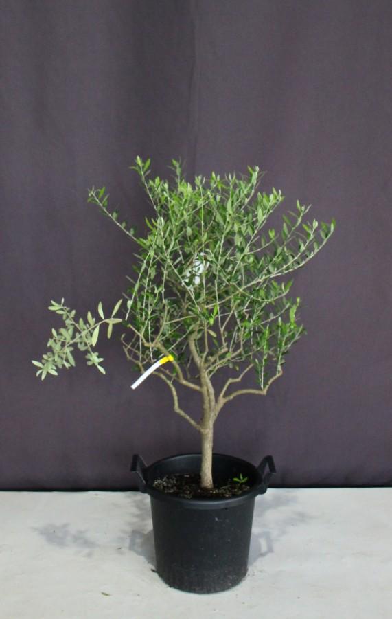 オリーブ シンボルツリー 人気 植木組合 植木 庭木