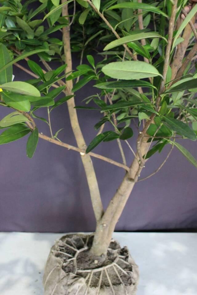 タイワンツバキ 台湾椿 常緑 シンボルツリー 植木組合