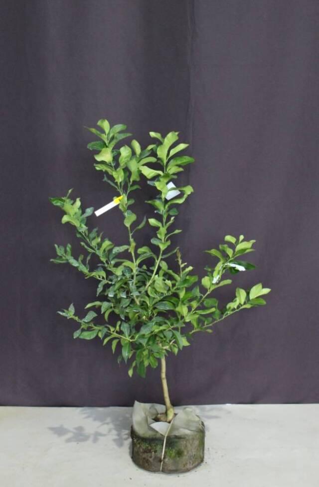 レモン 果樹 レモンの木 植木 庭木 大株 植木組合