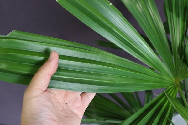 【現物302】シュロ 棕櫚  高さ0.9m
