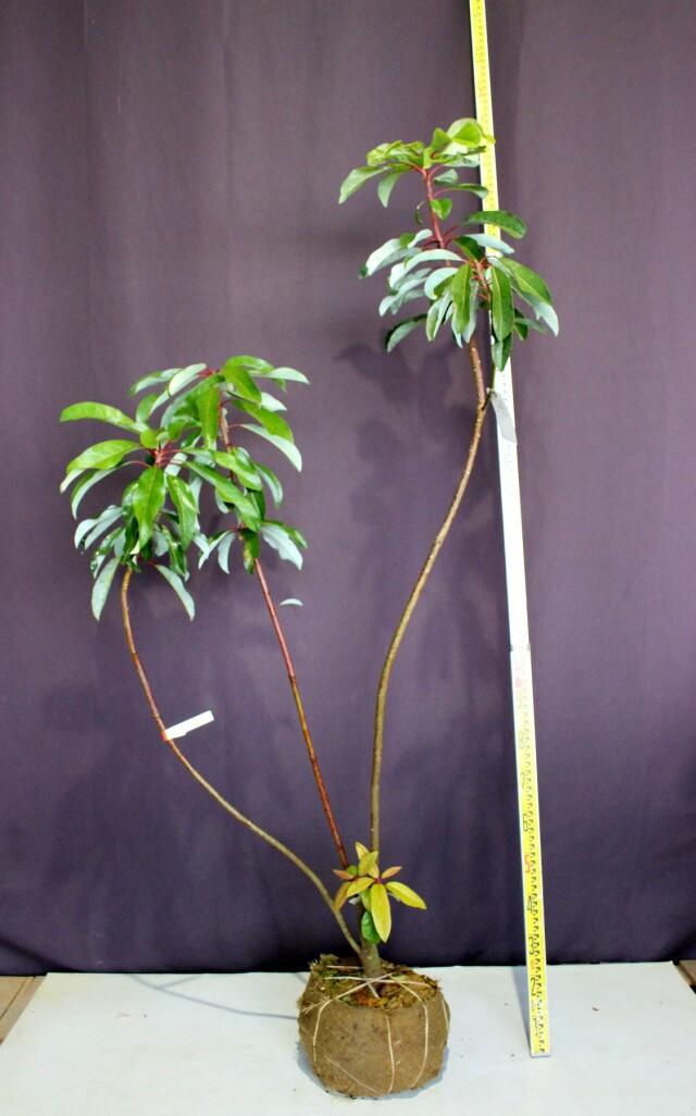 ユズリハ 植木 現品販売 植木組合 植木市