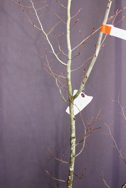 あかしで アカシデ 植木 現品販売 植木組合 植木市 現物商品画像