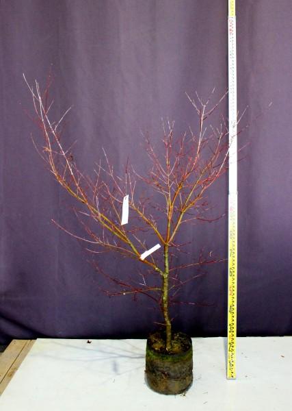 もみじ イロハモミジ 植木 現品販売 植木組合 植木市 現物商品画像