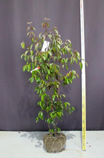 常緑ヤマボウシ ホンコンエンシス 月光 株立ち シンボルツリー 植木 現品販売 植木組合 植木市 現物商品画