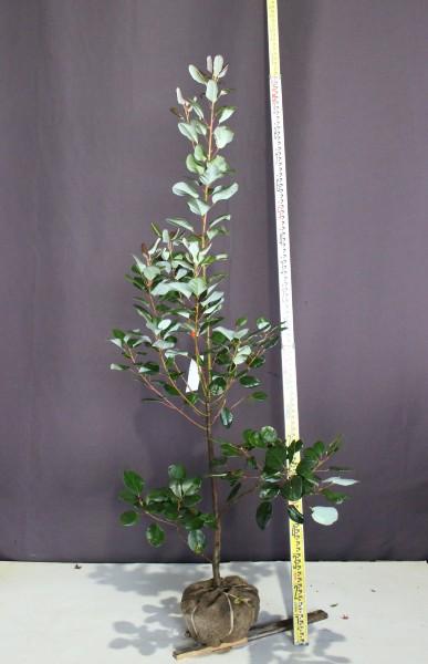 ロドレイア (シャクナゲモドキ)  高さ1.7m 常緑樹 植木 庭木 現品販売 ロドレイヤ