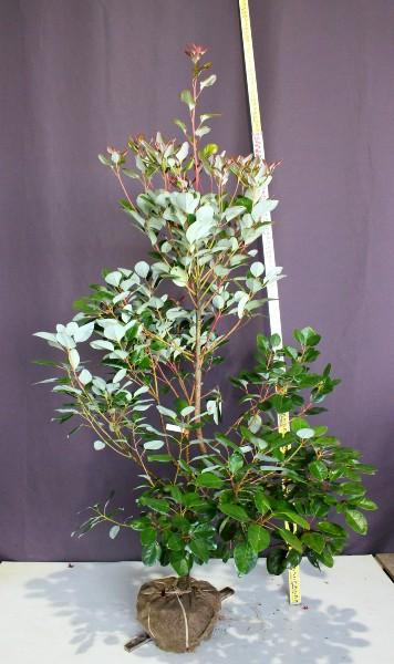 ロドレイア (シャクナゲモドキ)  常緑樹 植木 庭木 現品販売 ロドレイヤ