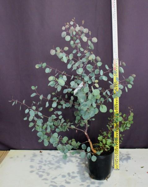 ユーカリ ポポラス 常緑樹 植木 庭木 現品販売 ロドレイヤ