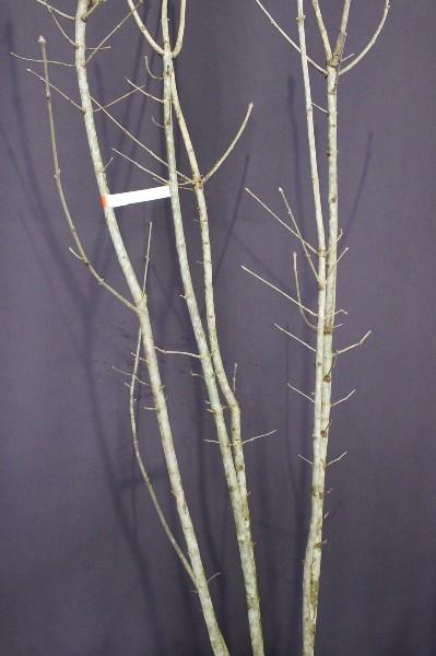 アオダモ あおだも 植木 現品販売 植木組合 植木市 現物商品画像