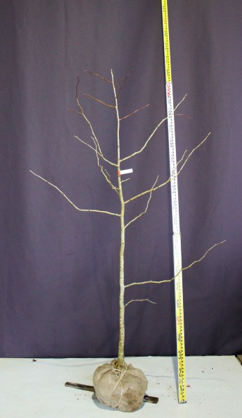 イチョウ 銀杏 落葉樹 植木 庭木 現品販売 実生苗の為 雌雄不明