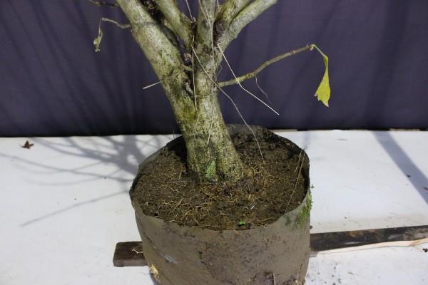 木槿 ムクゲ ピンク花 落葉樹 植木 庭木 現品販売