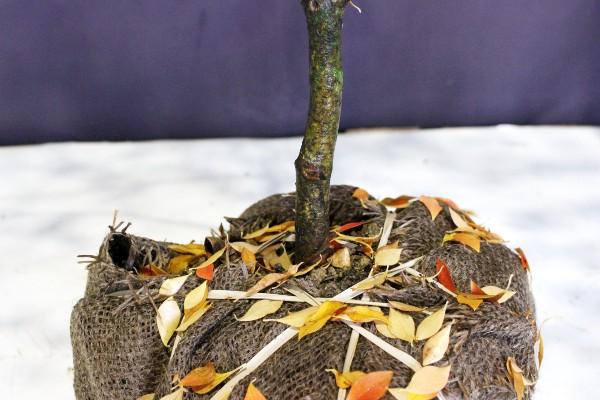 ドウダンツツジ つつじ 落葉樹 植木 庭木 現品販売