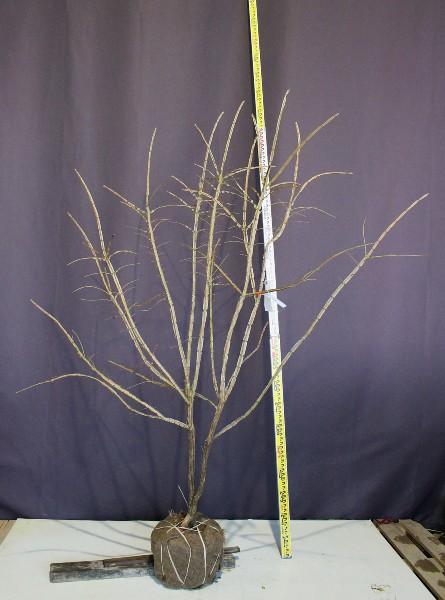 ニシキギ 錦木 植木 現品販売 植木組合 植木市 現物商品画像