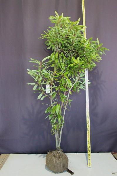 ヒメユズリハ 株立ち 常緑 シンボルツリー 植木組合