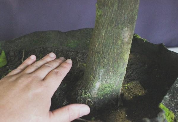 甘夏 アマナツ あまなつ 果樹 大株 成木 植木組合 現物販売