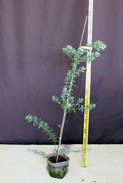 ミモザアカシア みもざ 常緑樹 人気 植木 庭木 現品販売