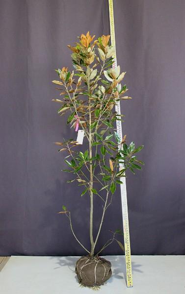 タイサンボク リトルジェム 植木組合