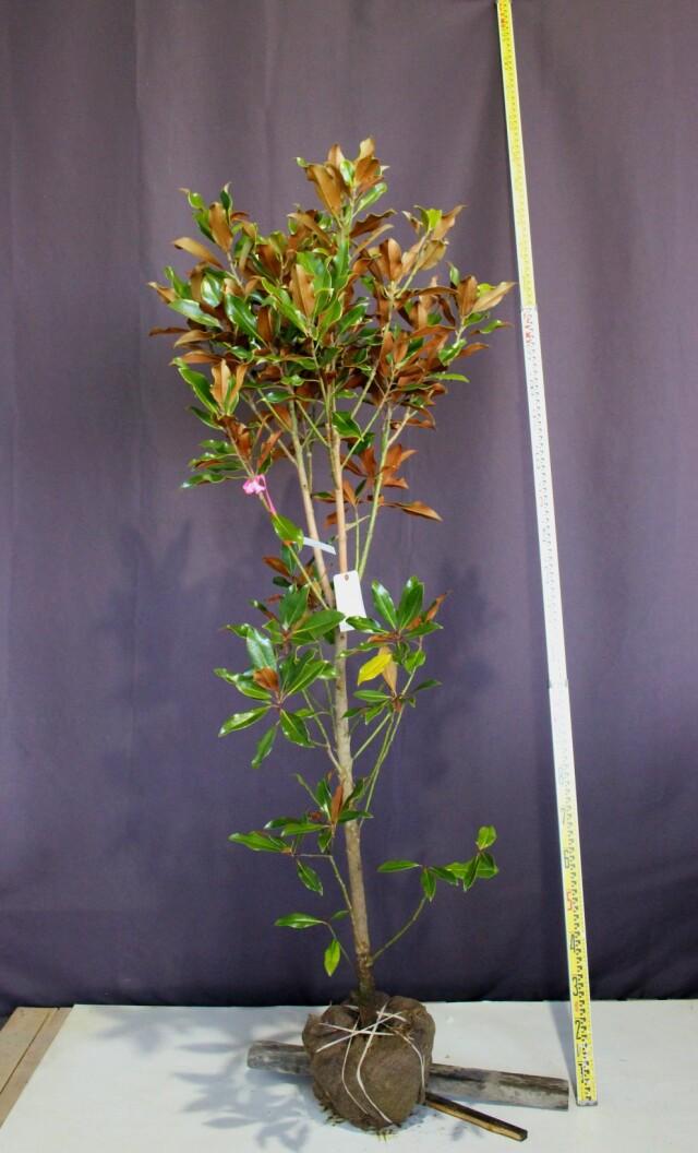 タイサンボク ケイパレス 植木組合