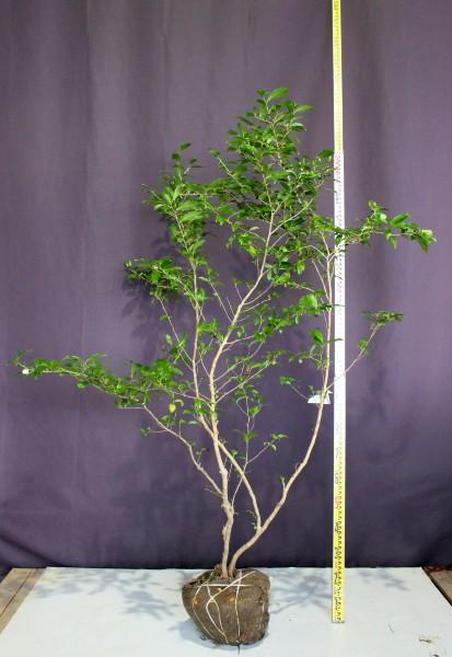 お茶の木 チャノキ 植木組合