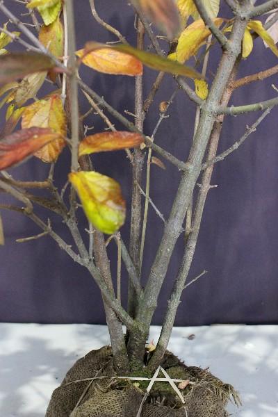 ガマズミ 落葉 雑木 落葉樹 植木