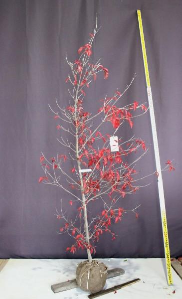 ヤマボウシ 落葉樹 人気 植木 庭木 現品販売
