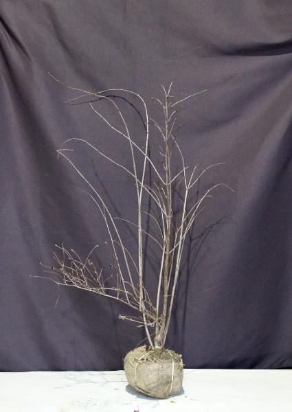 白山吹 シロヤマブキ 植木
