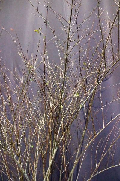 コデマリ 植木組合