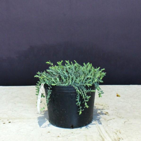 現物403 ヒペリカム 銀葉 矮性 シルバーナ