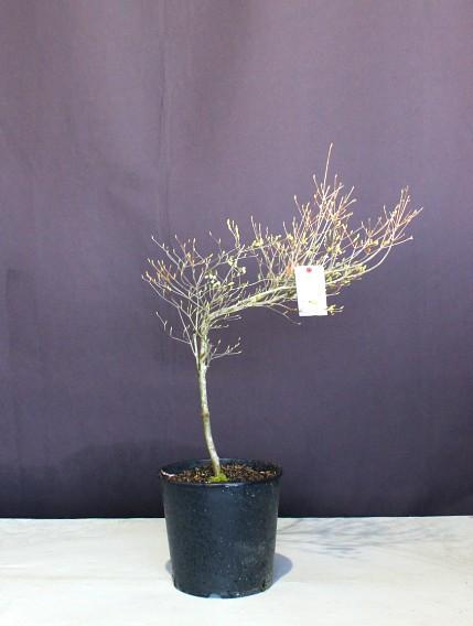 【現物418】個性的な樹形 ドウダンツツジ