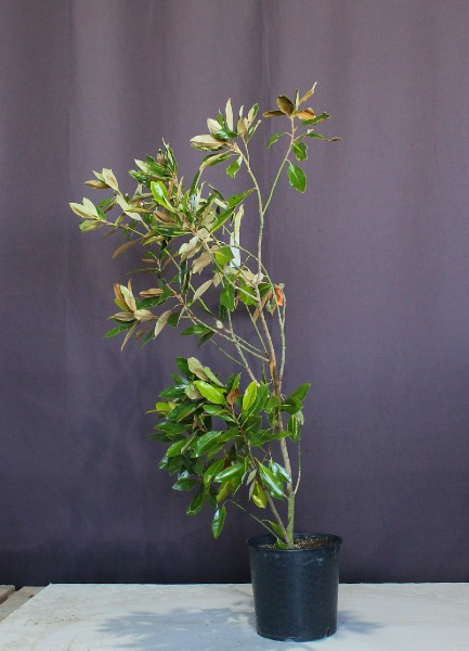 タイサンボク リトルジェム 植木 矮性 シンボルツリー 現物