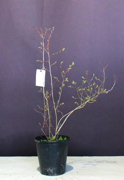 ネジキ 株立ち 雑木 ねじき 落葉樹 植木 植木組合 現物