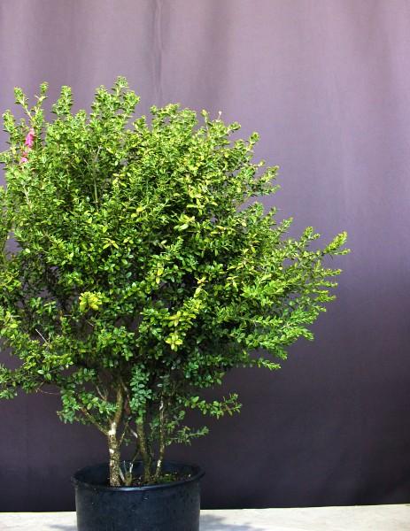 ツゲ 玉 たまつげ タマツゲ 植木 現物