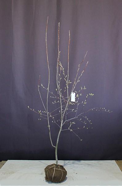 ジューンベリー ラマルキー 落葉 シンボルツリー
