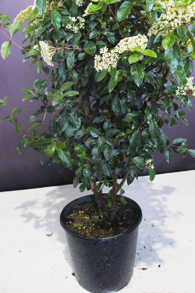 がまずみ ビブルナム ビバーナム ガマズミ 常緑 フレンチホワイト 植木組合 現物