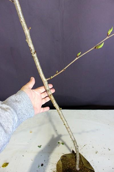 染井吉野 さくら サクラ ソメイヨシノ よしの ヨシノ桜 人気 シンボルツリー 植木組合 現物