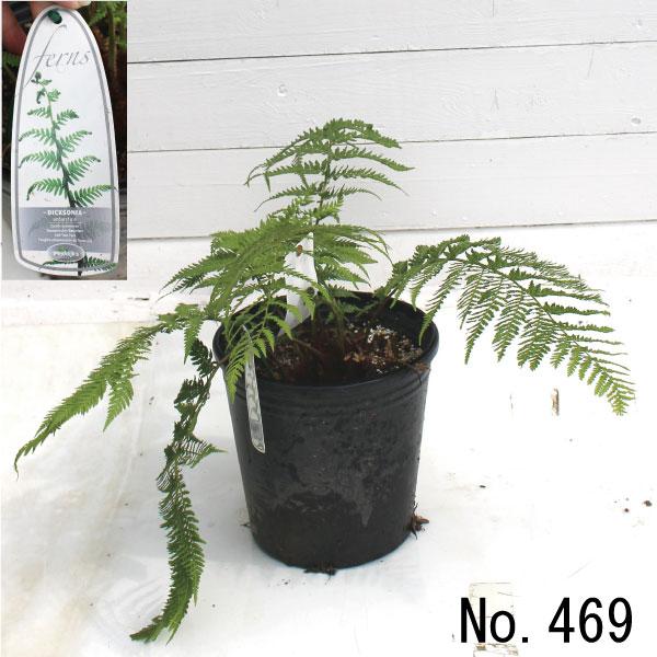 ディクソニア アンタルクティカ (Dicksonia antarctica)