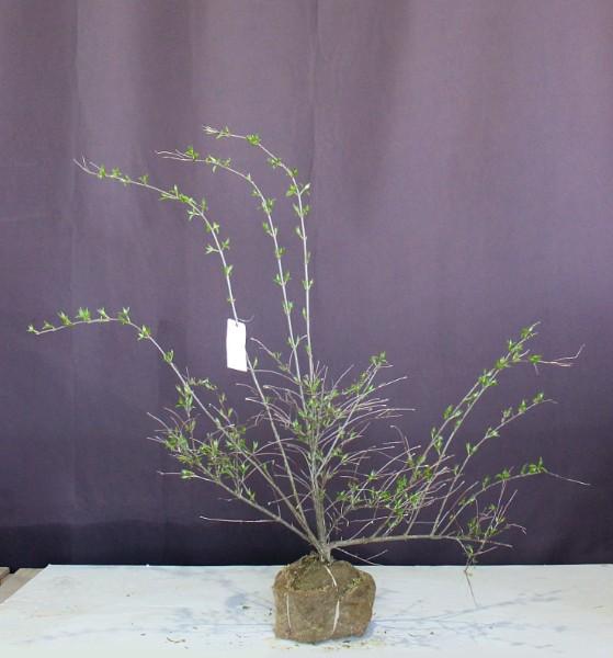 白山吹 しろやまぶき やまぶき 落葉 雑木 和風 低木 落葉  シロヤマブキ