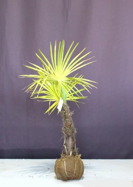 シュロ 棕櫚