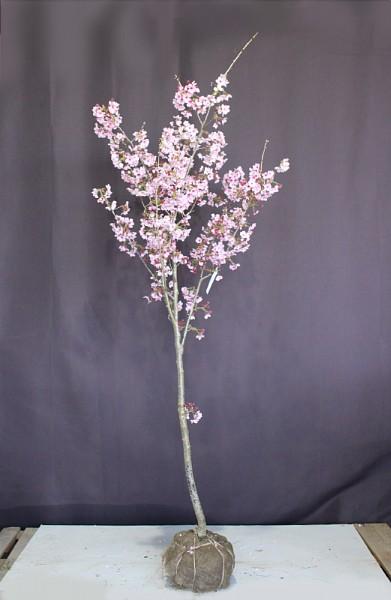 陽光桜 ヨウコウ サクラ さくら
