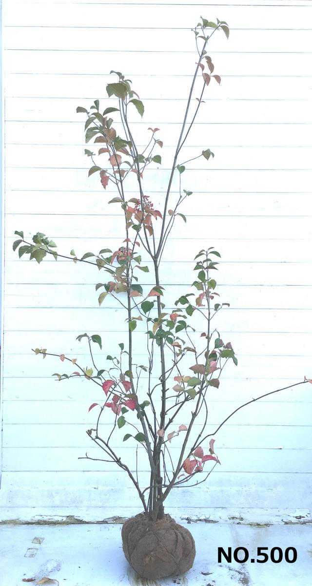 ハクサンボク Viburnum japonicum