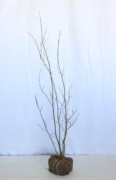【現物820】シロモジ 5本立ち  高さ1.3m