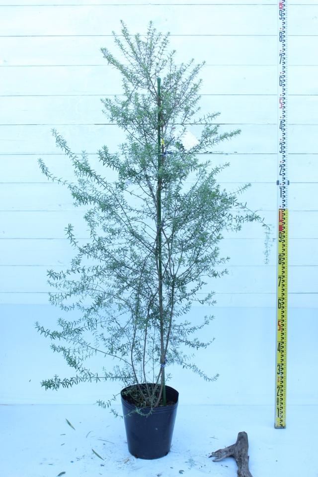 【植木市-006】  ウエストリンギア 高さ約 1.5 m